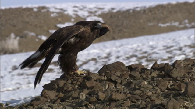Golden eagle (Aquila chrysaetos) takes off, Jiakuerte, China