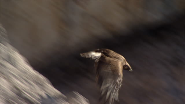golden eagle takes off - dolomites stock videos & royalty-free footage