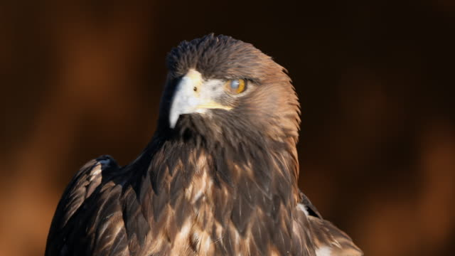 vidéos et rushes de golden eagle up close in the sunlight - aigle royal