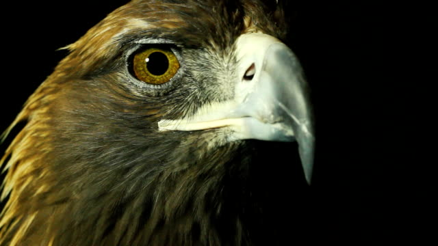 vidéos et rushes de golden eagle  - aigle royal
