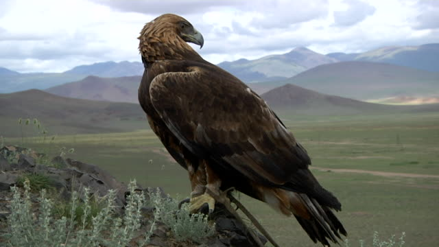 vidéos et rushes de golden eagle with mountain landscape on the backgrounf - aigle royal