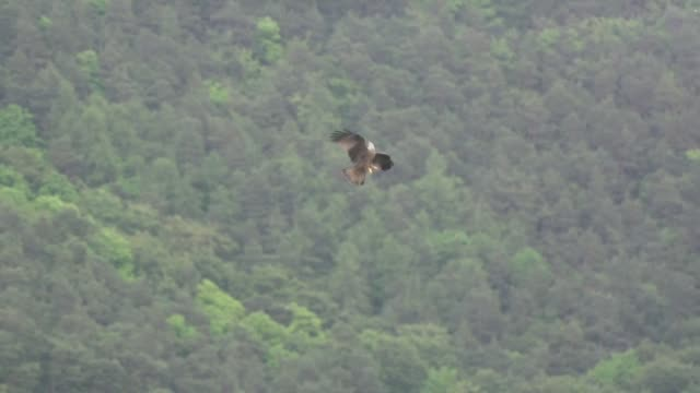 golden eagles (aquila chrysaetos) battle in the sky - golden eagle stock videos & royalty-free footage