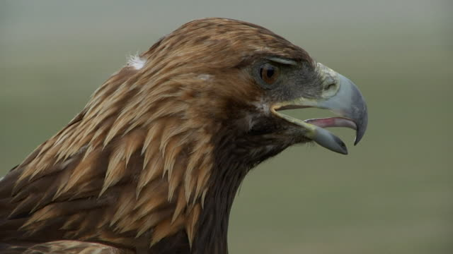 vidéos et rushes de golden eagle's head - aigle royal