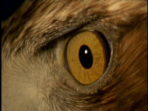 golden eagle's yellow blinking eye - blinking stock videos & royalty-free footage