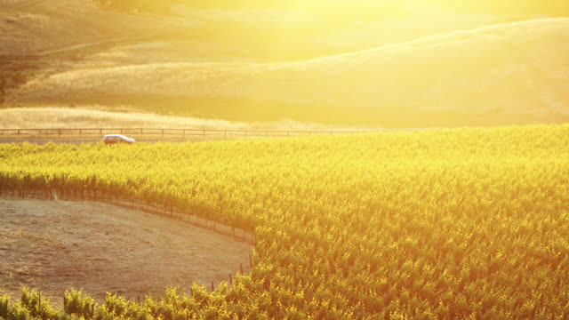 golden evening light on vineyard with passing truck - aerial shot - winemaking stock videos & royalty-free footage