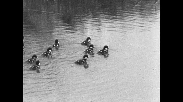 vidéos et rushes de golden eye ducklings in pond following mother up enbankment. adult mallard ducks near shore. wood duck on lake. pintail ducks feeding in water tails... - canard oiseau aquatique