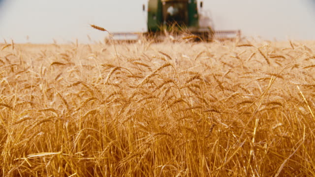 golden field of wheat; a combine harvesting the grain is out of focus in the background. - nebraska stock-videos und b-roll-filmmaterial