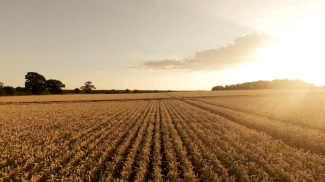 golden fields - agricultural field stock videos & royalty-free footage