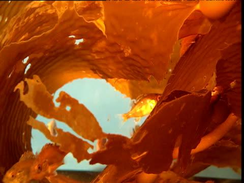 Golden fish amongst kelp, California
