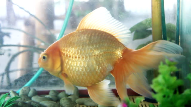golden fish in aquarium - tail fin stock videos & royalty-free footage