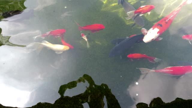 vídeos de stock, filmes e b-roll de golden fish in the pond - teatro clássico