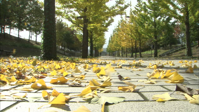 Golden ginkgo leaves fall on tree lined avenue
