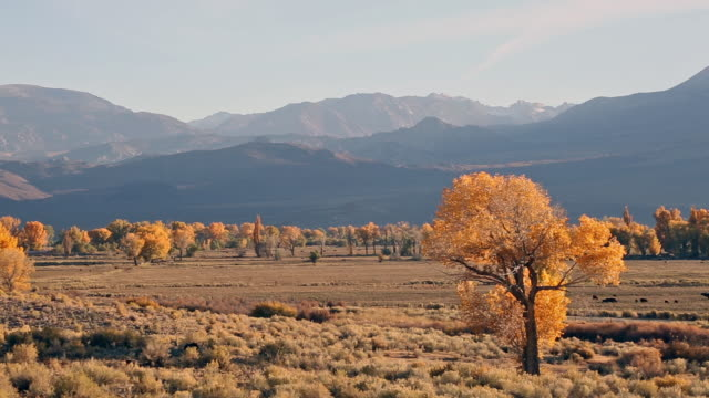 Golden grass covered valley filled with yellow cottonwood trees in autumn at sunset with Sierra Nevada mountains in background.
