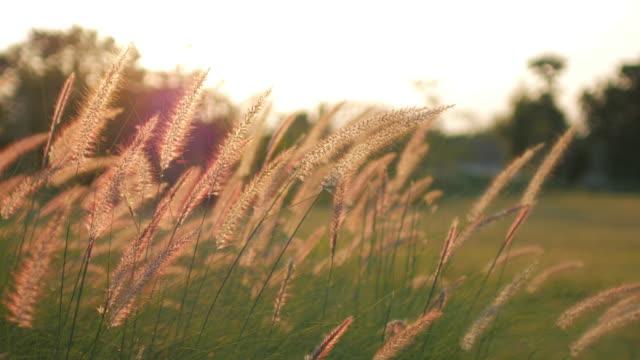 Golden grass field sunshine after sunset