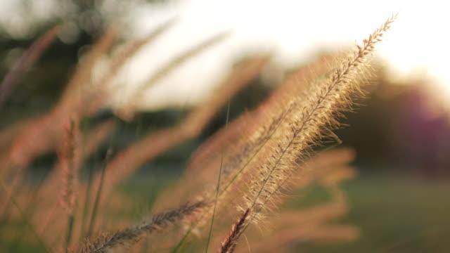Gouden gras veld zonneschijn na zonsondergang