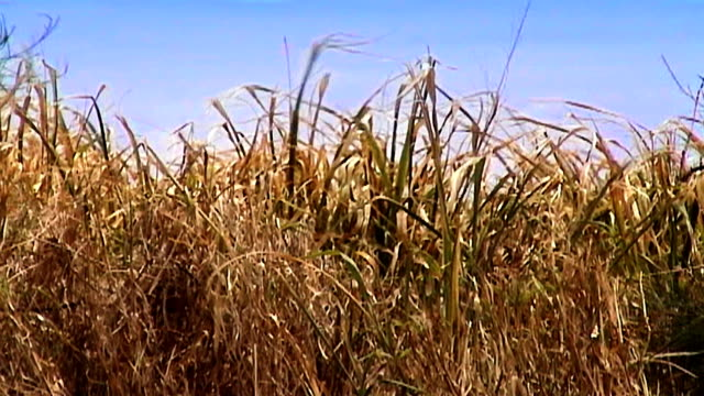 golden grass under a summer blue sky sways in a gentle breeze. - impressionism stock videos & royalty-free footage