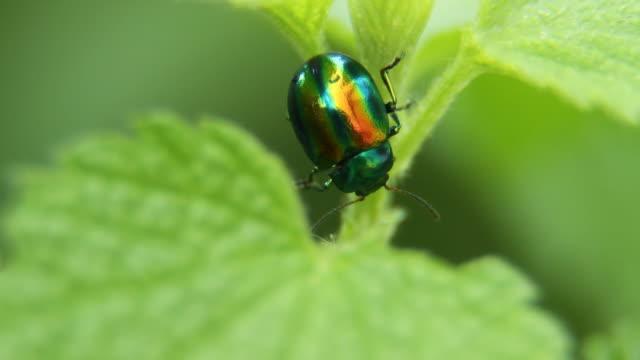 Golden green Käfer