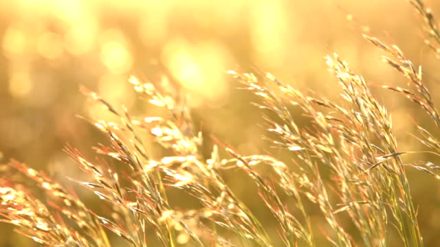 Golden hay