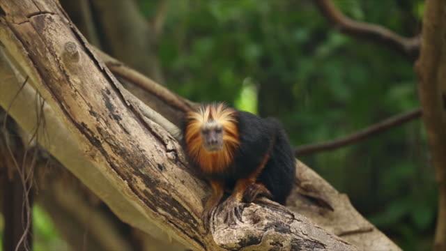golden headed lion tamarin - human head stock videos & royalty-free footage
