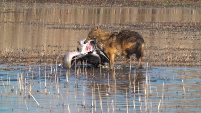 golden jackal and crane - aggression点の映像素材/bロール