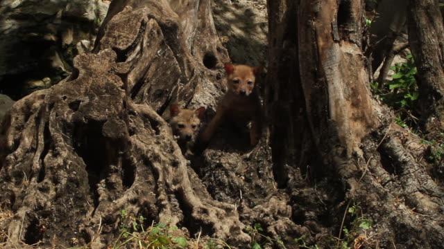 golden jackal (Canis aureus) cubs in olive tree trunk