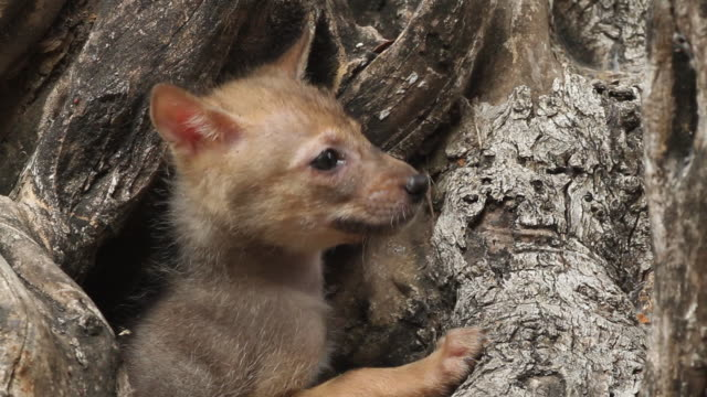 golden jackal (canis aureus) cubs in olive tree trunk - cub stock videos & royalty-free footage
