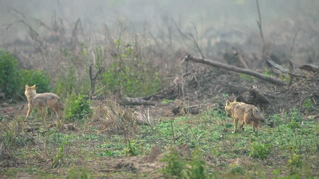 vidéos et rushes de chacal d'or en mode chasse dans le parc national jim corbett - film documentaire image animée