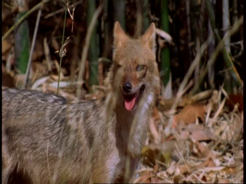 ms golden jackal (canis aureus) looking around, bandhavgarh national park, india - maul stock-videos und b-roll-filmmaterial