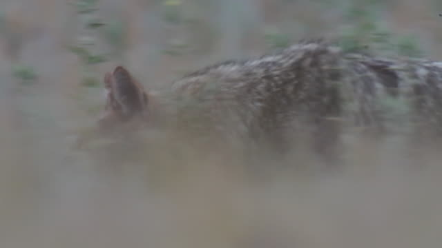 golden jackal - bird of prey stock videos & royalty-free footage