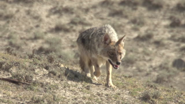 golden jackal - documentary footage stock videos & royalty-free footage