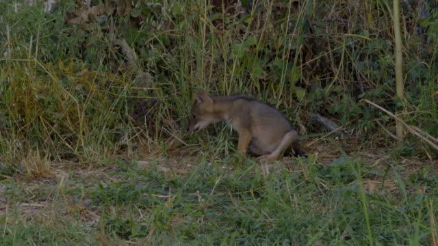 golden jackal (canis aureus) - canine stock videos & royalty-free footage