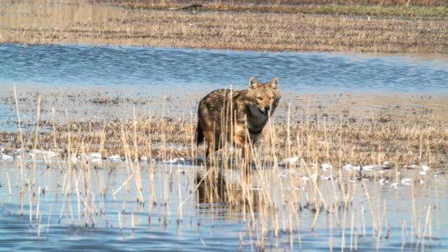 vídeos de stock e filmes b-roll de golden jackal (canis aureus) - canino