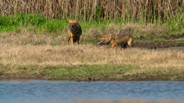 golden jackal (canis aureus) - two animals stock videos & royalty-free footage
