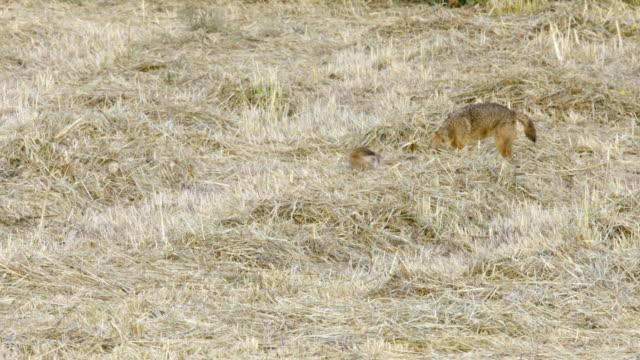 vidéos et rushes de golden jackal (canis aureus) - petit groupe d'animaux