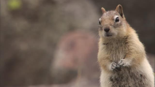 Golden mantled ground squirrel (Callospermophilus lateralis) looks around, Yellowstone, USA
