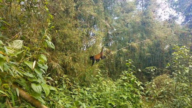 Golden Monkey in a jungle in Rwanda
