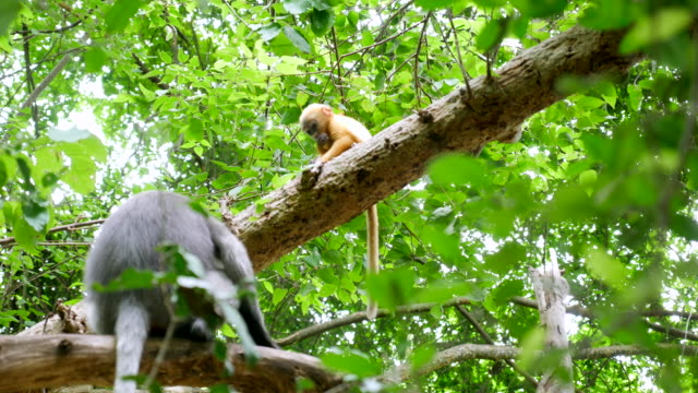 Golden monkey play with mom