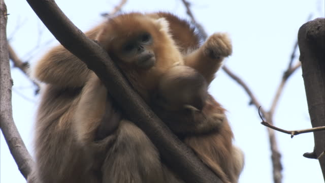 golden monkeys, qinling mountains, shaanxi, china  - primate stock videos and b-roll footage