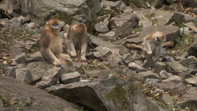 golden monkeys, qinling mountains, shaanxi, china  - gruppo medio di animali video stock e b–roll