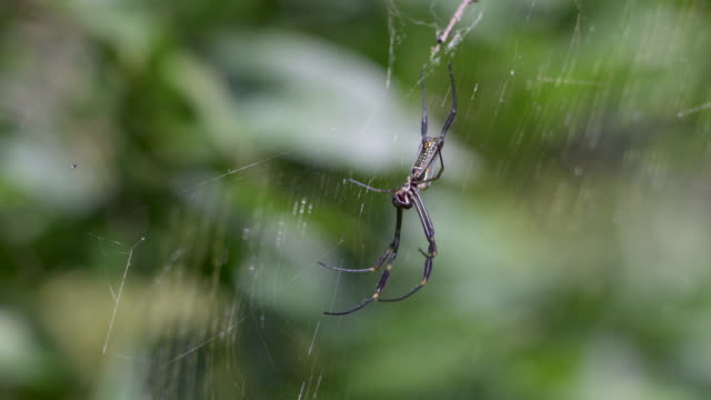 a golden orb spider, banana spider (nephila clavipes) - arachnophobia stock videos & royalty-free footage