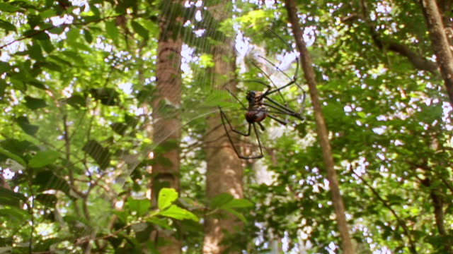 cu golden orb spider making web / sulawesi, indonesia - arachnid stock videos and b-roll footage