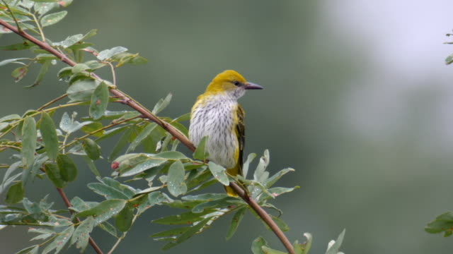 Golden Oriole female standing on a tree