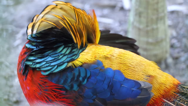 golden pheasant - indonesia landscape stock videos & royalty-free footage