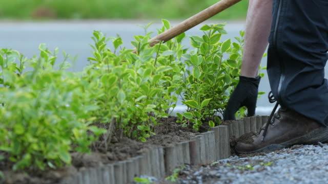 vidéos et rushes de golden privet hedge - gant de jardinage
