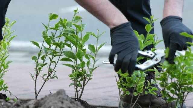 vidéos et rushes de golden privet pruning - gant de jardinage
