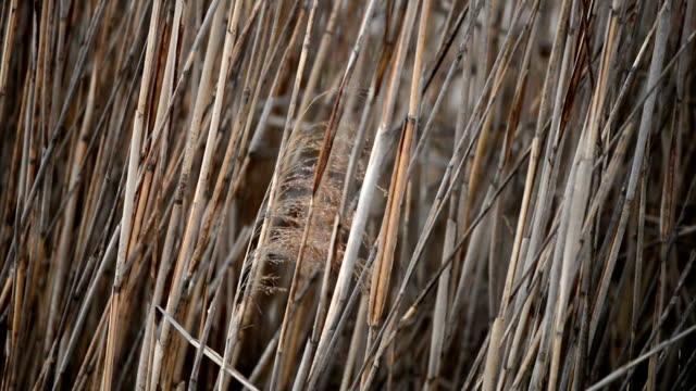 Golden Reeds blowing in light breeze