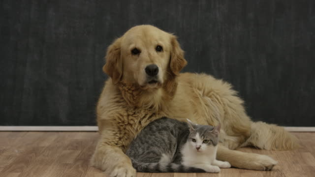 golden retriever and kitten - sitting video stock e b–roll