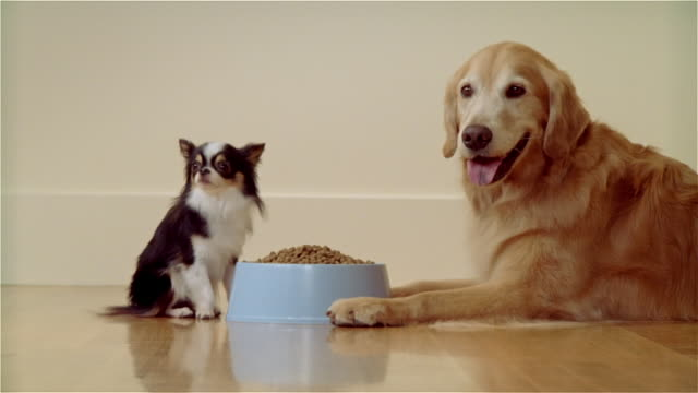 cu, golden retriever and long haired chihuahua at bowl with dog food - retriever stock videos and b-roll footage