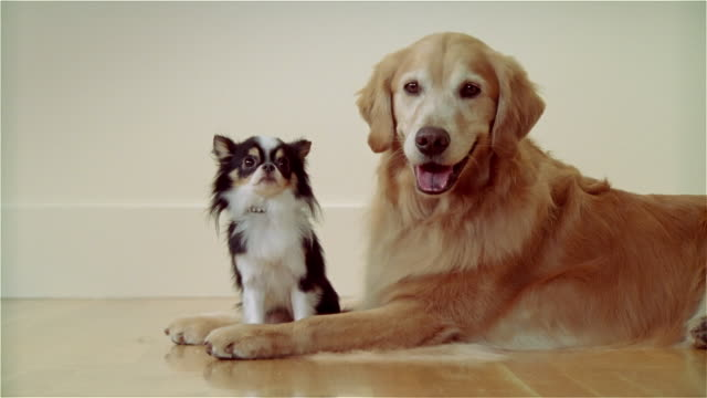 vídeos de stock, filmes e b-roll de cu, golden retriever and long haired chihuahua - dois animais