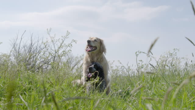 SLO MO Golden Retriever and Spaniel sitting in long grass